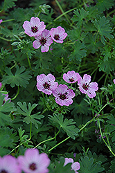 Ballerina Cranesbill (Geranium cinereum 'Ballerina') at Minor's Garden Center