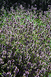 Lemon Thyme (Thymus x citriodorus) at Minor's Garden Center