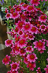 Heaven's Gate Tickseed (Coreopsis rosea 'Heaven's Gate') at Minor's Garden Center