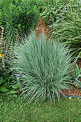 The Blues Little Bluestem (Schizachyrium scoparium 'The Blues') at Minor's Garden Center