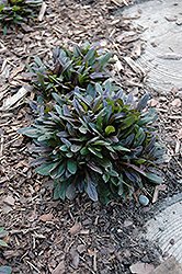 Chocolate Chip Bugleweed (Ajuga reptans 'Chocolate Chip') at Minor's Garden Center
