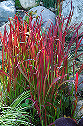 Red Baron Japanese Blood Grass (Imperata cylindrica 'Red Baron') at Minor's Garden Center