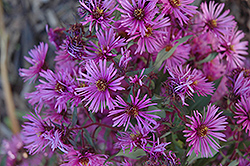 Woods Pink Aster (Aster 'Woods Pink') at Minor's Garden Center