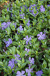 Dart's Blue Periwinkle (Vinca minor 'Dart's Blue') at Minor's Garden Center
