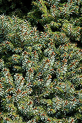 Dwarf Serbian Spruce (Picea omorika 'Nana') at Minor's Garden Center