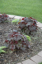 Palace Purple Coral Bells (Heuchera micrantha 'Palace Purple') at Minor's Garden Center