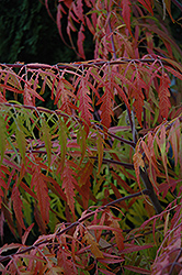 Tiger Eyes Sumac (Rhus typhina 'Bailtiger') at Minor's Garden Center