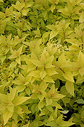Goldmound Spirea (Spiraea japonica 'Goldmound') at Minor's Garden Center