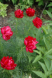 Rubra Flora Plena Fernleaf Peony (Paeonia tenuifolia 'Flore Plena') at Minor's Garden Center