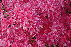 Rosy Lights Azalea (Rhododendron 'Rosy Lights') at Minor's Garden Center