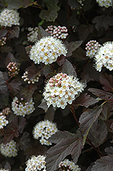 Diablo Ninebark (Physocarpus opulifolius 'Diablo') at Minor's Garden Center