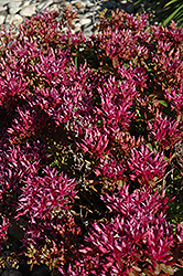 Dragon's Blood Stonecrop (Sedum spurium) at Minor's Garden Center