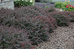 Crimson Pygmy Japanese Barberry (Berberis thunbergii 'Crimson Pygmy') at Minor's Garden Center