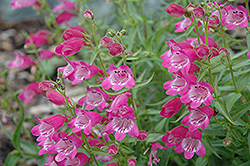 Red Rocks Beardtongue (Penstemon x mexicali 'Red Rocks') at Minor's Garden Center