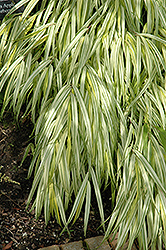 Golden Variegated Hakone Grass (Hakonechloa macra 'Aureola') at Minor's Garden Center