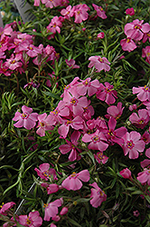 Millstream Daphne Creeping Phlox (Phlox subulata 'Millstream Daphne') at Minor's Garden Center