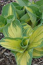 Great Expectations Hosta (Hosta 'Great Expectations') at Minor's Garden Center