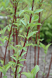 Alleman's Compact Dogwood (Cornus sericea 'Alleman's Compact') at Minor's Garden Center