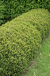 Green Gem Boxwood (Buxus 'Green Gem') at Minor's Garden Center