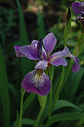 Larger Blue Flag Iris (Iris versicolor) at Minor's Garden Center