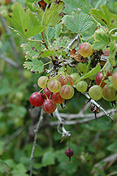 Pixwell Gooseberry (Ribes 'Pixwell') at Minor's Garden Center