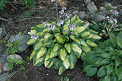 Captain Kirk Hosta (Hosta 'Captain Kirk') at Minor's Garden Center