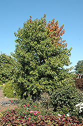 Sienna Glen Maple (Acer x freemanii 'Sienna') at Minor's Garden Center