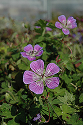 Sweet Heidi Cranesbill (Geranium 'Sweet Heidi') at Minor's Garden Center