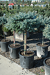 Globe Blue Spruce On Standard (Picea pungens 'Globosa (tree form)') at Minor's Garden Center