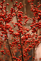 Berry Heavy Winterberry (Ilex verticillata 'Spravy') at Minor's Garden Center