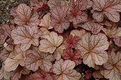 Pinot Gris Coral Bells (Heuchera 'Pinot Gris') at Minor's Garden Center