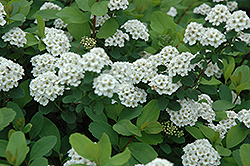 Birchleaf Spirea (Spiraea betulifolia) at Minor's Garden Center