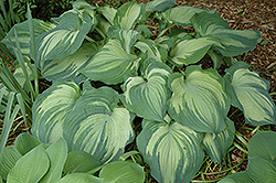 Guardian Angel Hosta (Hosta 'Guardian Angel') at Minor's Garden Center