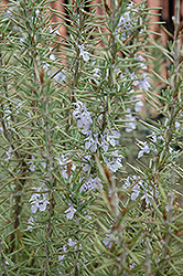 Arp Rosemary (Rosmarinus officinalis 'Arp') at Minor's Garden Center