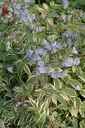 Touch Of Class Jacob's Ladder (Polemonium reptans 'Touch Of Class') at Minor's Garden Center