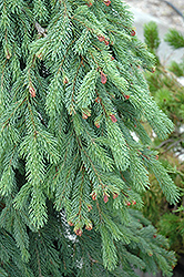 Weeping White Spruce (Picea glauca 'Pendula') at Minor's Garden Center