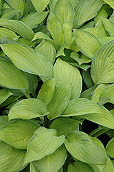 Gold Standard Hosta (Hosta 'Gold Standard') at Minor's Garden Center