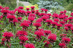Raspberry Wine Bee Balm (Monarda 'Raspberry Wine') at Minor's Garden Center