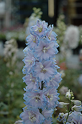 Magic Fountains Sky Blue Larkspur (Delphinium 'Magic Fountains Sky Blue') at Minor's Garden Center