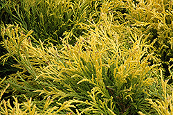 Golden Mop Falsecypress (Chamaecyparis pisifera 'Golden Mop') at Minor's Garden Center