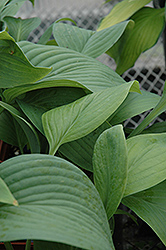 T-Rex Hosta (Hosta 'T-Rex') at Minor's Garden Center