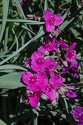 Red Cloud Spiderwort (Tradescantia x andersoniana 'Red Cloud') at Minor's Garden Center