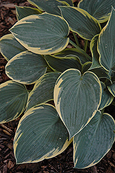 First Frost Hosta (Hosta 'First Frost') at Minor's Garden Center