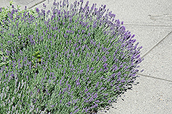Munstead Strain Lavender (Lavandula angustifolia 'Munstead') at Minor's Garden Center