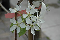 Bosc Pear (Pyrus communis 'Bosc') at Minor's Garden Center