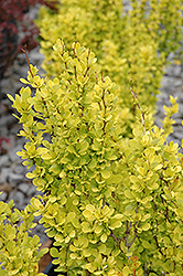 Sunjoy Gold Pillar Japanese Barberry (Berberis thunbergii 'Maria') at Minor's Garden Center
