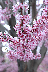 Eastern Redbud (Cercis canadensis) at Minor's Garden Center