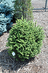 Sherwood Compact Norway Spruce (Picea abies 'Sherwood Compact') at Minor's Garden Center