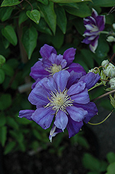 Franziska Marie Clematis (Clematis 'Franziska Marie') at Minor's Garden Center