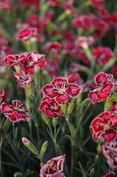 Whetman Dessert Cranberry Ice Pinks (Dianthus 'Cranberry Ice') at Minor's Garden Center